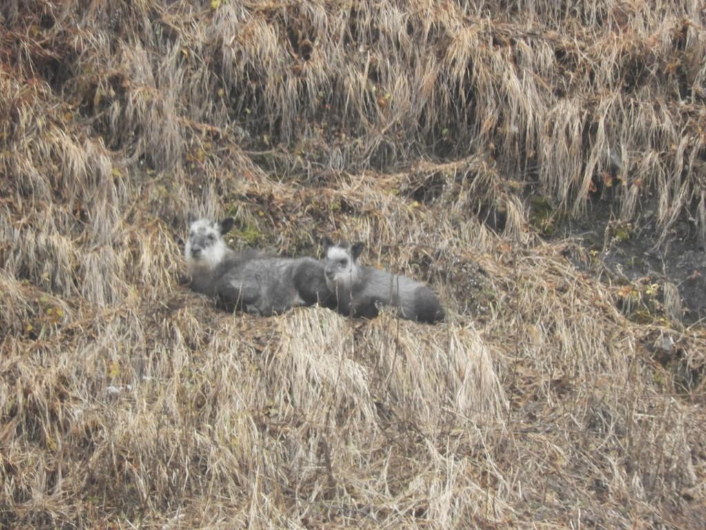 野生動物に迫る山旅 浅間山麓カモシカトレッキング