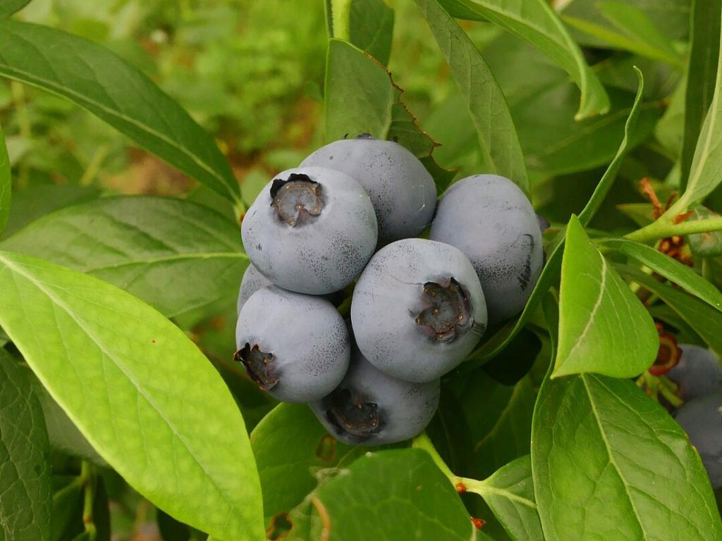 <ブルーベリー狩り入園券付プラン>だいわブルーベリー園でブルーベリー狩り体験!栽培する品種は30品種以上!