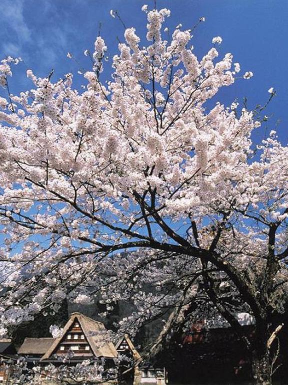 世界遺産『五箇山』菅沼の春。(車で約15分)