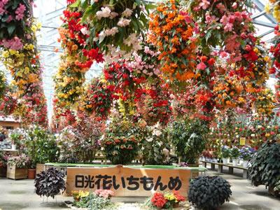 花いちもんめはベゴニアがいっぱい