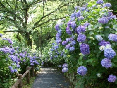 300万輪の紫陽花が咲き誇る下田の初夏の風物詩