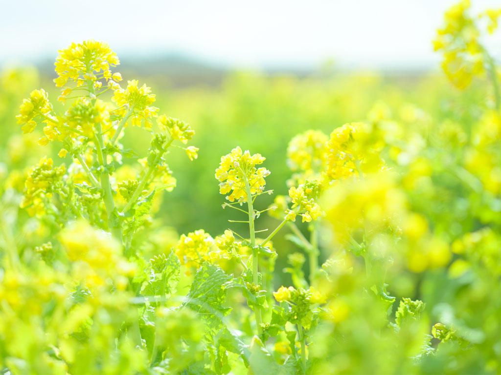 GW頃に菜の花畑が開花予定