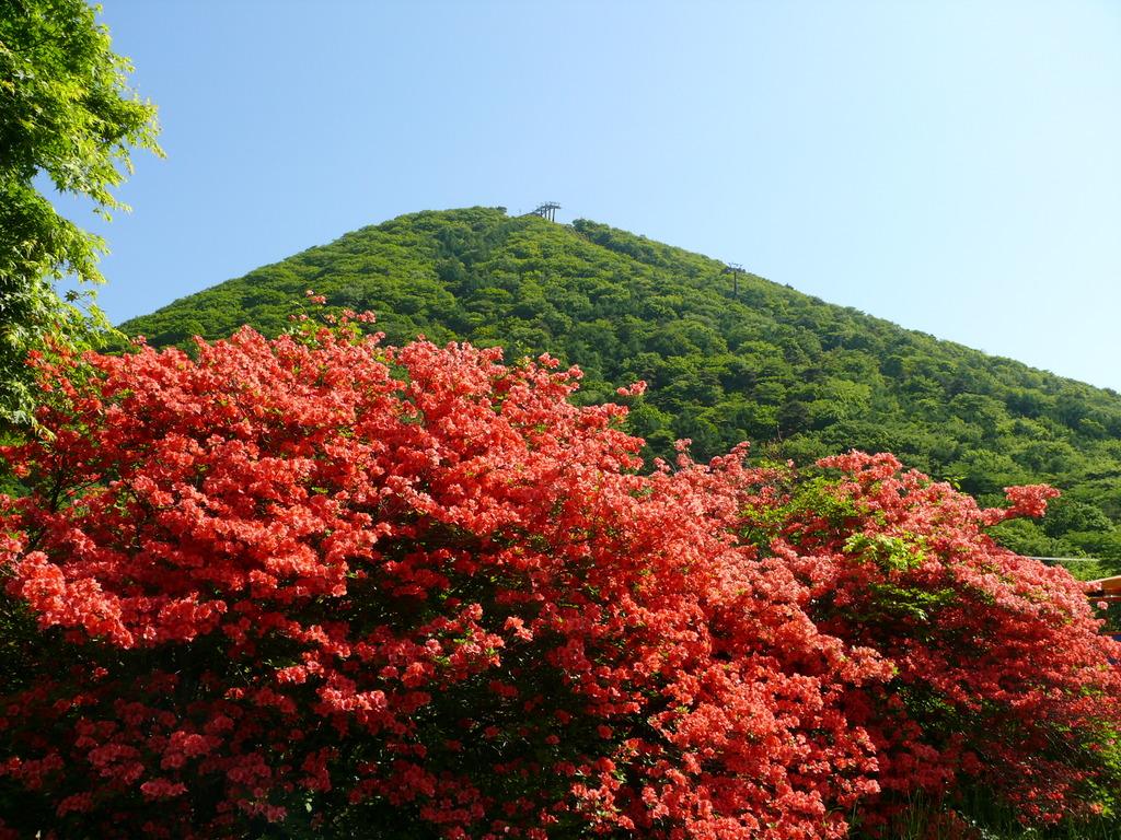 榛名山にははるか昔からその時季になるとレンゲツツジがあちこちに咲きます。