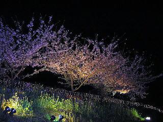 河津桜(夜桜の一例)