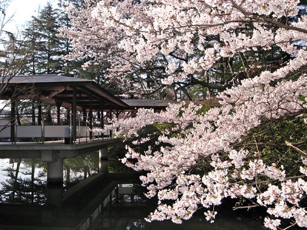 【春の庭園】桜と渡り廊下