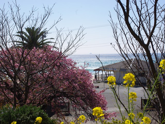 下田大和館の河津桜