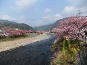 河津桜の様子