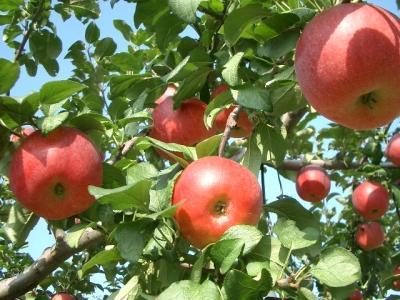 実りの秋!りんご狩り♪時間無制限食べ放題!