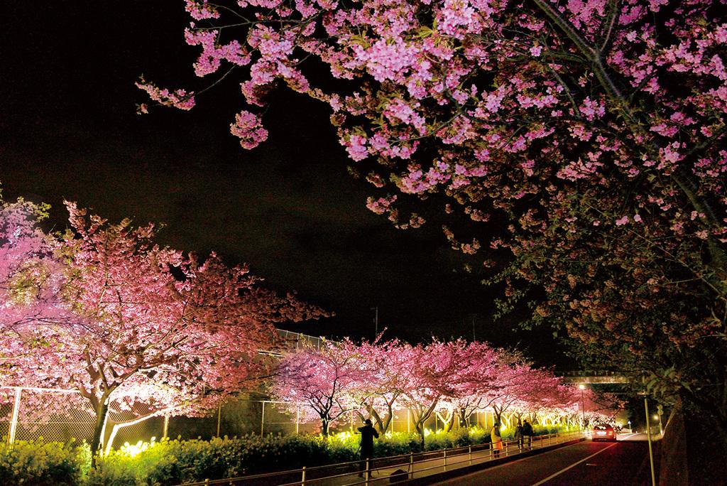 線路沿い河津桜のライトアップ