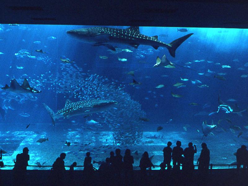 一番の見所!ジンベイザメをカメラに納める絶好のスポットです!