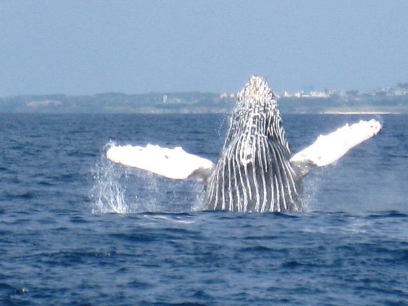 ダイナミックなジャンプや潮吹きなど、クジラは水面でさまざまな行動を見せてくれます