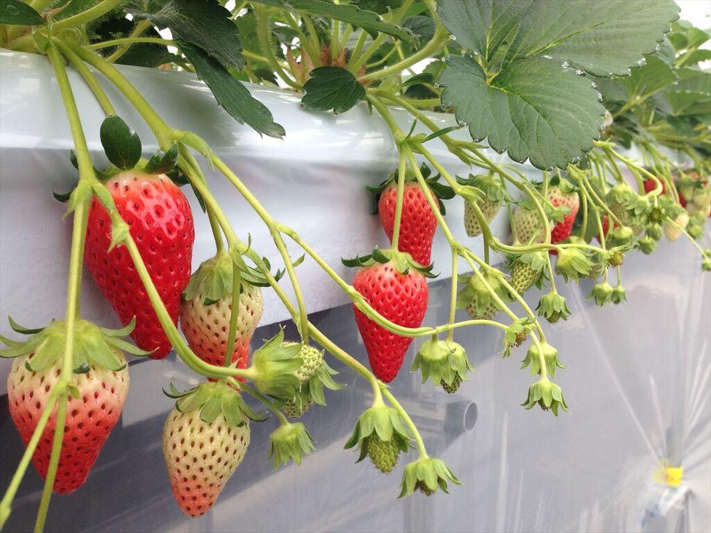甘くてジューシーな「ゆめさき苺」のいちご狩りを思う存分お楽しみ下さい。