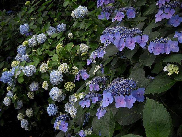 高幡不動尊の紫陽花