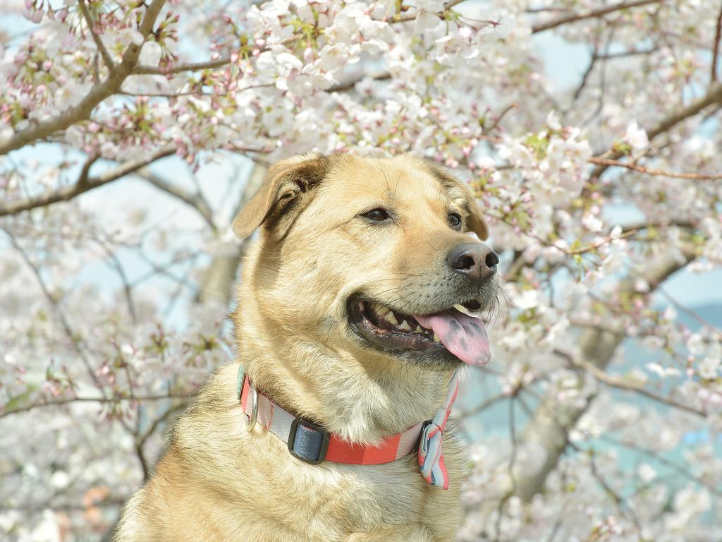 桜と看板犬ミナト