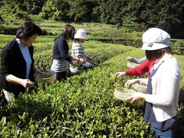 お茶摘み体験 ※イメージ画像