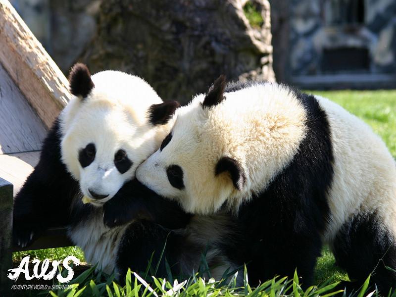 しぐさがかわいい!パンダに癒されます
