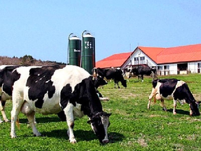 マザー牧場といえばたくさんの牛♪