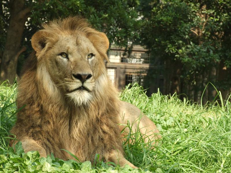 ライオンイメージ