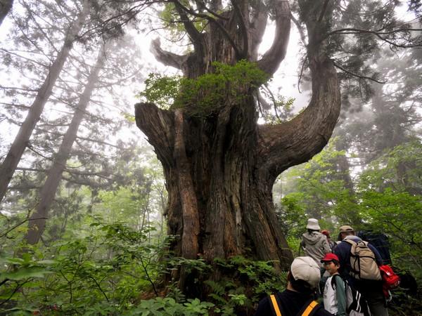 立山杉の巨木を間近で見上げよう