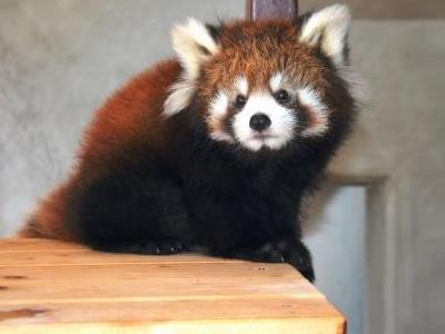 レッサーパンダ(写真提供:日本平動物園)