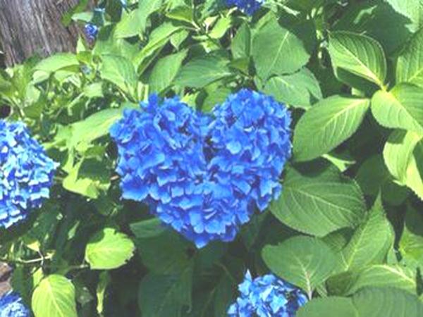 周辺観光(三室戸寺の紫陽花)