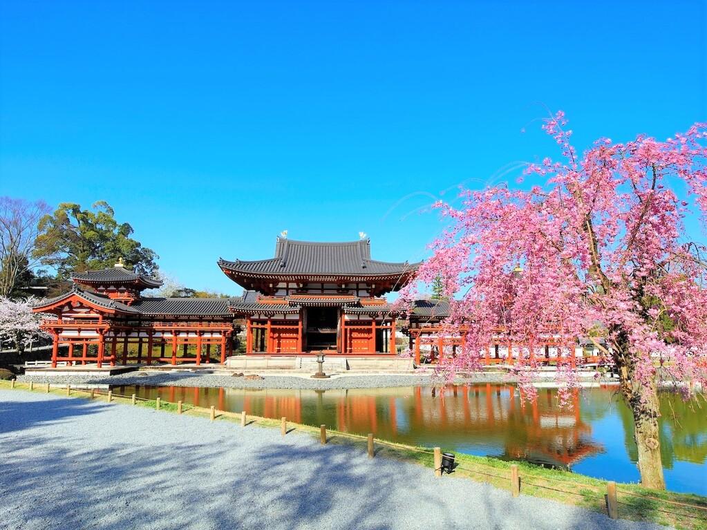 (桜と鳳凰堂)※世界遺産・平等院鳳凰堂まで徒歩5分♪