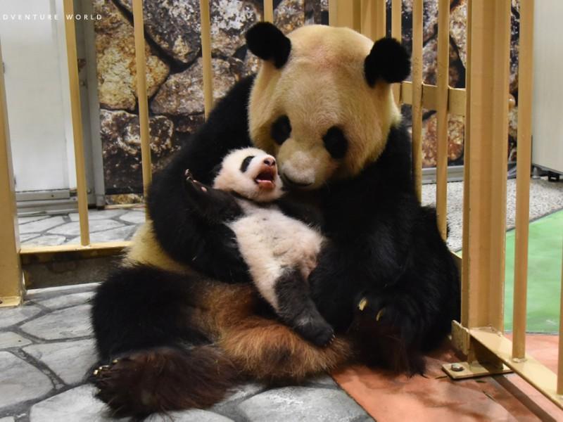 2018AWS 10/22パンダの親子