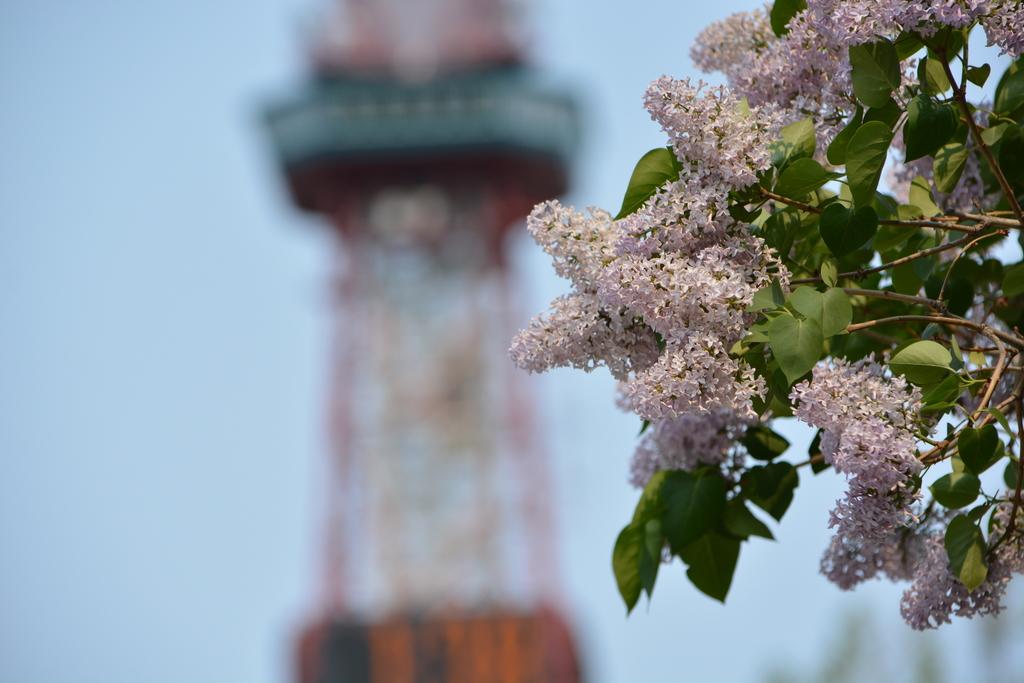 大通公園には5月にライラックが咲きます