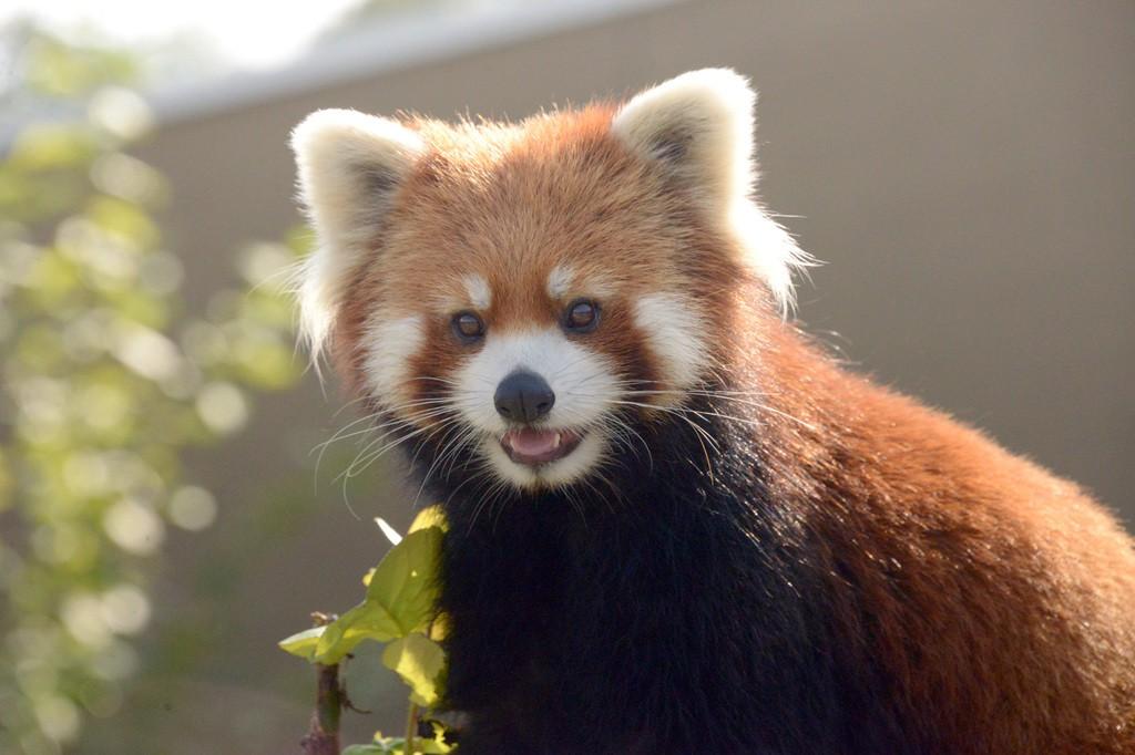 円山動物園 シセンレッサーパンダ
