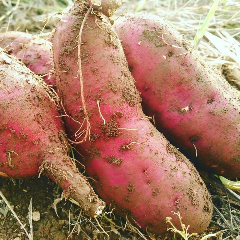 サツマイモの収穫体験