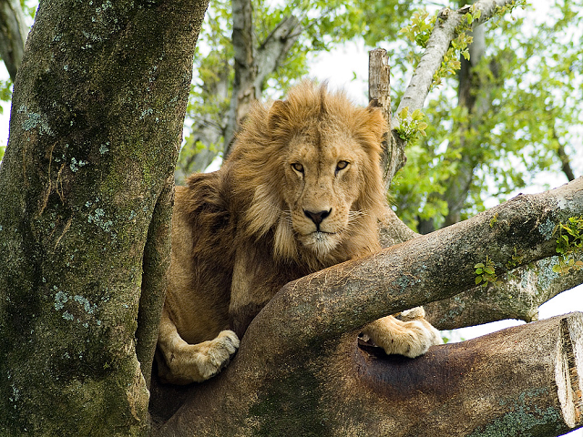 アフリカンサファリ(ライオン)