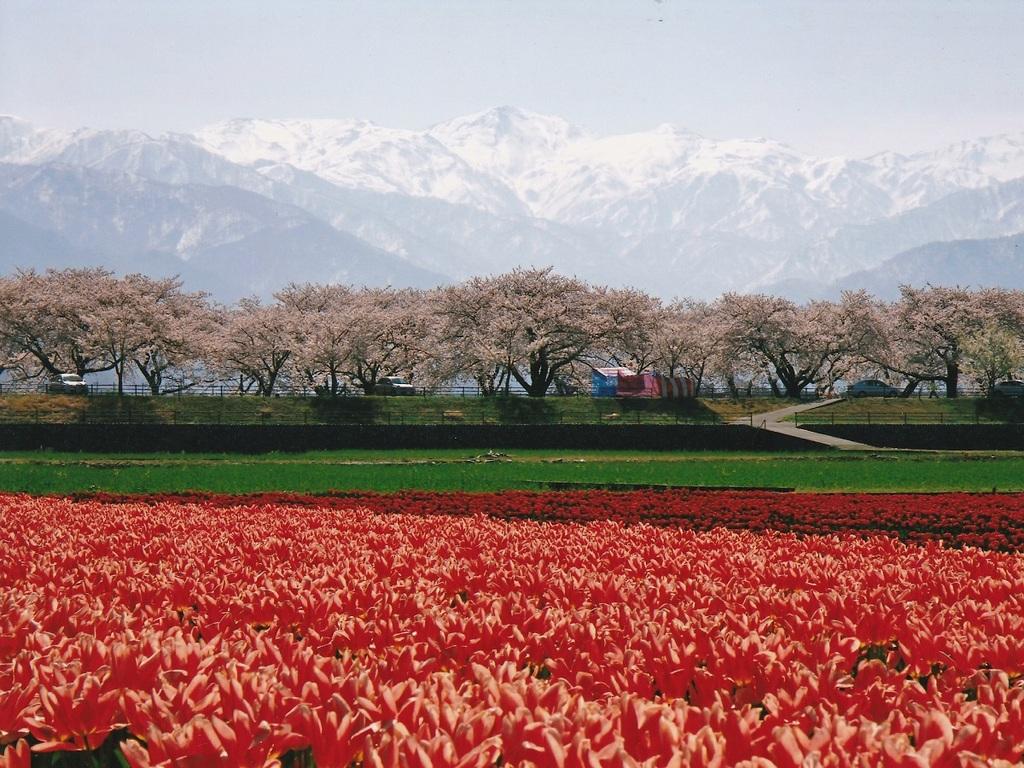 朝日町の桜
