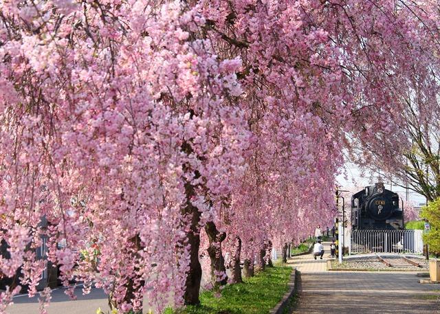約3kmの遊歩道に1000本のしだれ桜が咲き誇る「日中線のしだれ桜」(喜多方市)