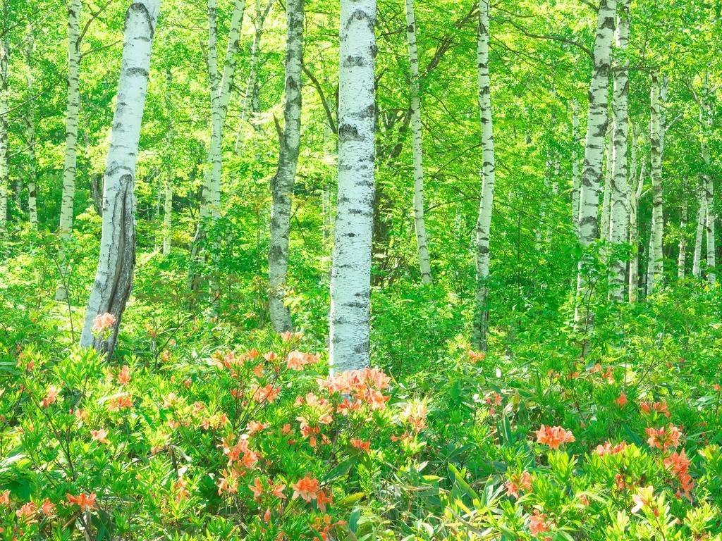 白樺林とれんげつつじが美しい季節(イメージ/6月中旬頃)