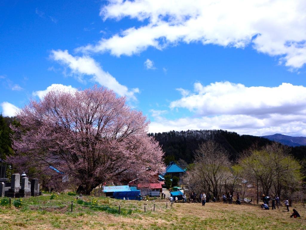 GWは片品村の天王桜が満開。