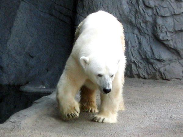 人気者の白クマさん♪