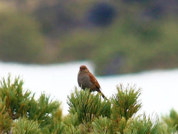 旭岳温泉には幾つか遊歩道がありラッキーなら野鳥を観察できます