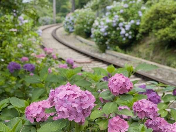 【6〜7月】登山鉄道のあじさい。期間限定で夜間ライトアップも!
