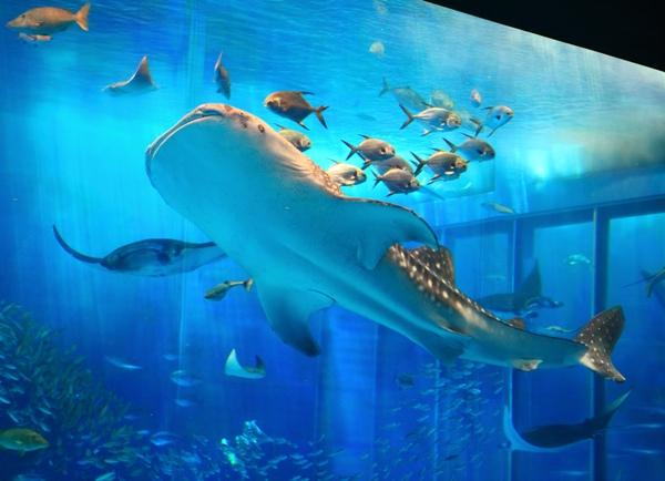 リピーターにも大人気!「沖縄美ら海(ちゅらうみ)水族館」の入館チケット付き♪