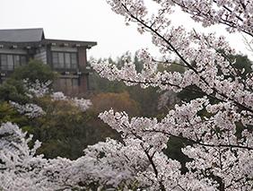 中庭の桜(イメージ)