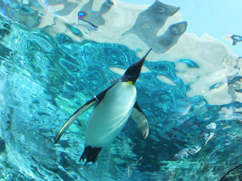 【旭山動物園に最も近いシティホテル】空飛ぶペンギンに会いに行こう!
