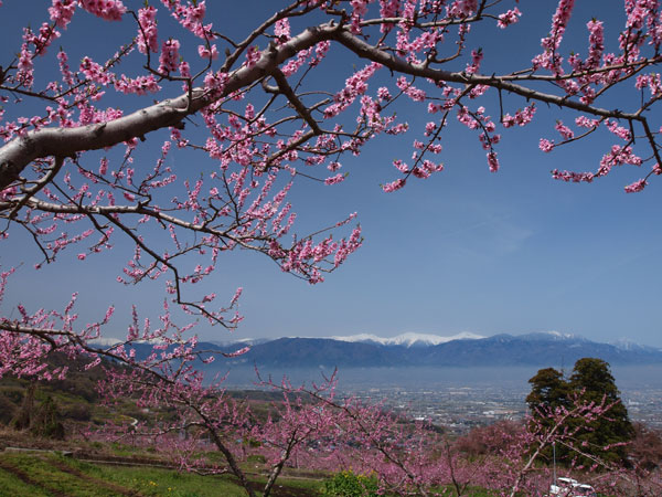 桃の花と残雪の南アルプス