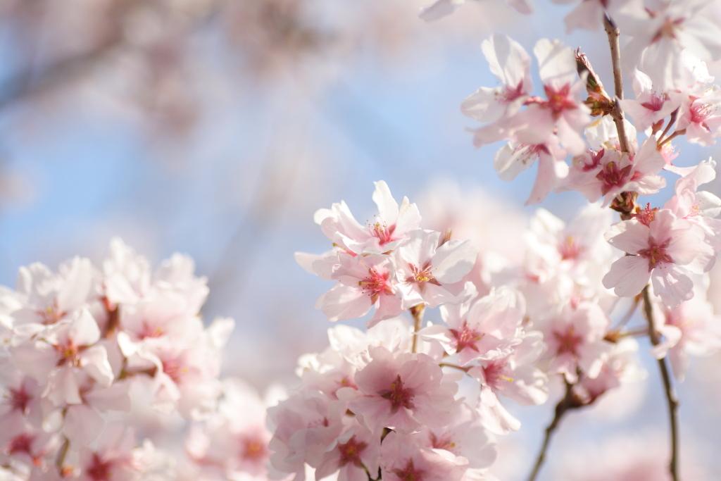 【箱根観光】箱根湯本から芦ノ湖に向かって桜前線が移動し、箱根では約1ヶ月間かけて桜が楽しめるといわれています