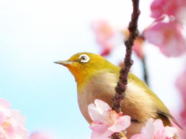 早咲きの土肥桜&河津桜がおすすめ!