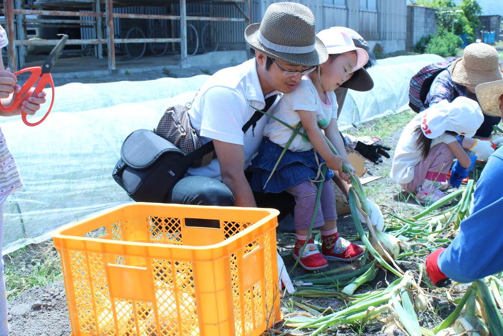 玉葱収穫体験