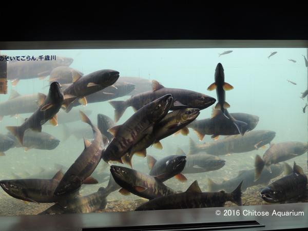 【千歳水族館】水中観察室_サケの群れ