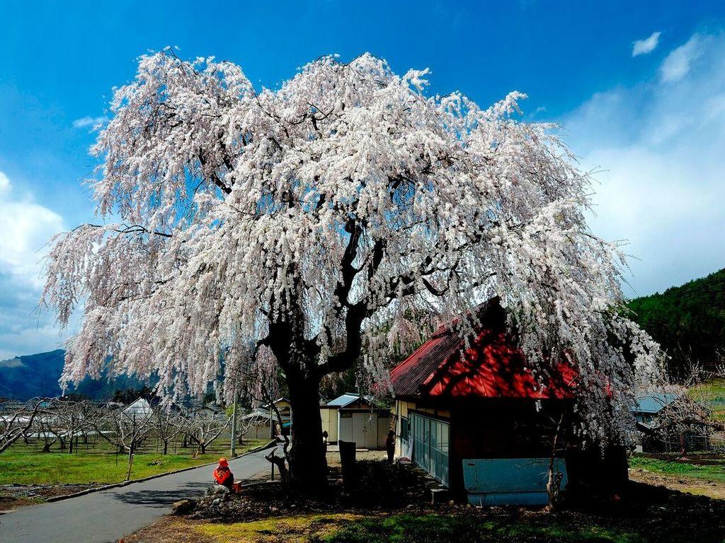 【桜】信州高山五大桜をはじめ、桜のシーズンは4月中旬からGWまで