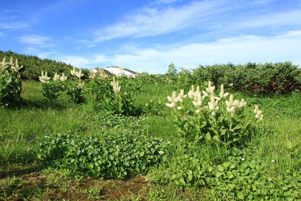 2年に一度花を咲かすと言われるコバイケイソウの群生