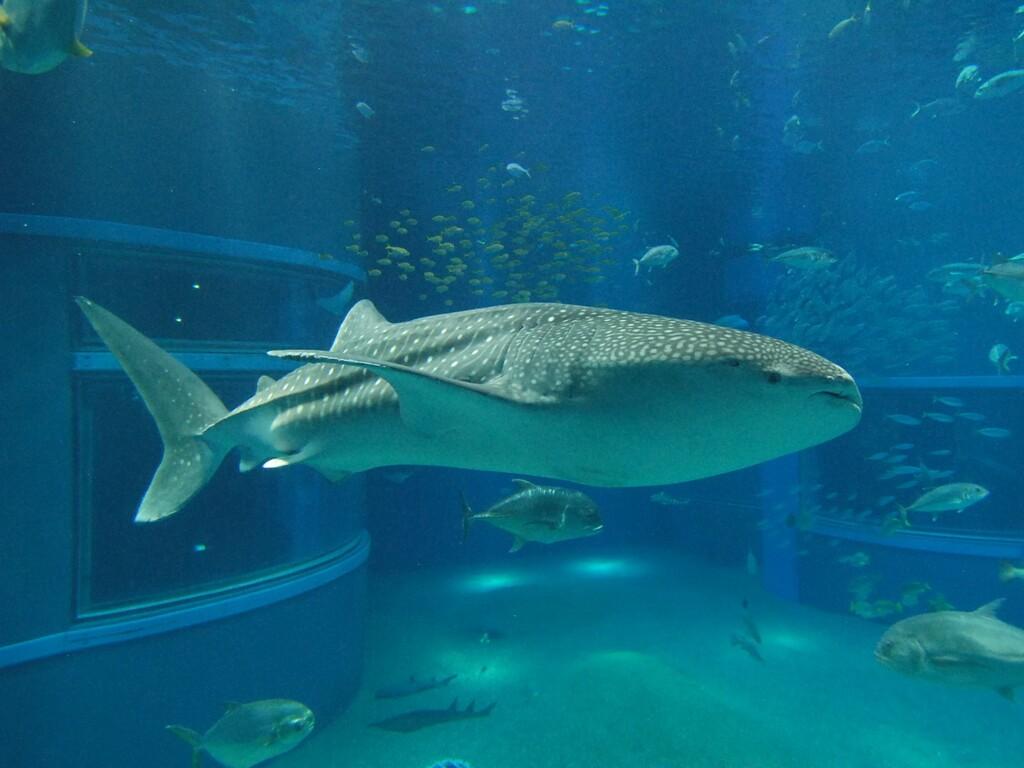 海遊館(ジンベイザメ)