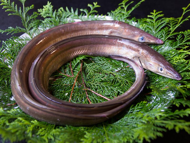 明石海峡で育った淡路島の鱧は、身が引き締まり脂がほどよく乗った逸品です!
